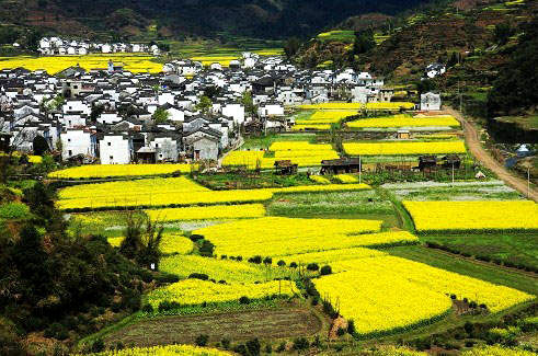 rape flowers in Wuyuan
